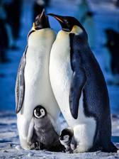Movie Snow Chick: A Penguin's Tale